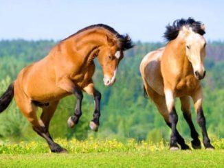 Il cavallo del comandante